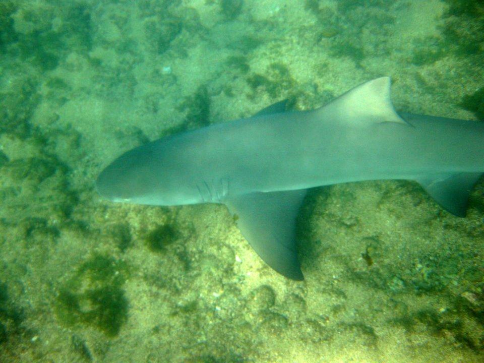 Tubarão na praia do Sueste em Fernando de Noronha